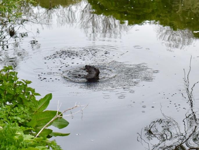 Otter in the Darwen