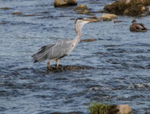 Heron on the Ribble at West Bradford