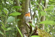 Robin on the Ribble