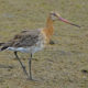Black-tailed Godwit.