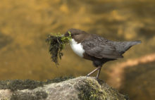 dipper with nesting material